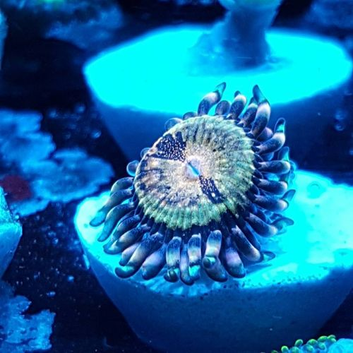 fairy dust zoa on plug
