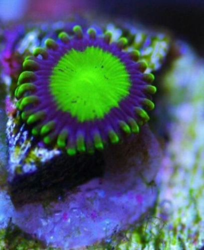 granny apple zoa