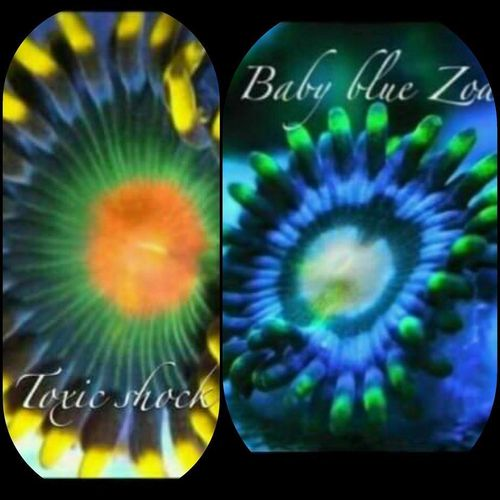LIMITED OFFER toxic shock and baby blue zoa frag twin pack