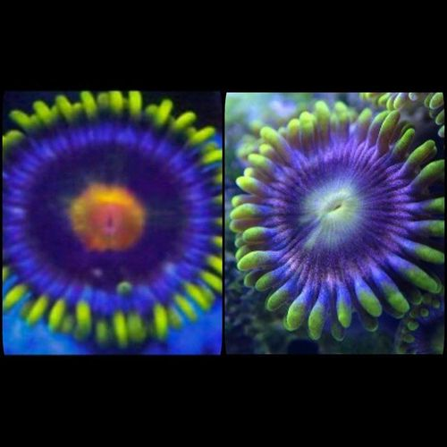 LIMITED OFFER blow pop and rainbow purple zoa twin pack