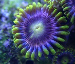 purple rainbow  zoa on frag plug