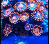 cluster of tangelo zoas on frag plug