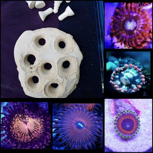 7 way frag rock comes with 5 zoa frags and two spare frag plugs