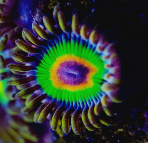 tyree rasta zoa on frag plug