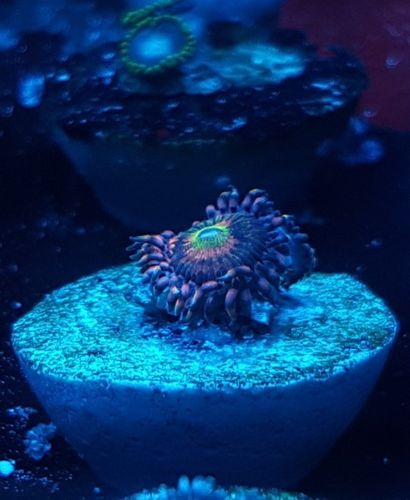 alien anti venom zoa
