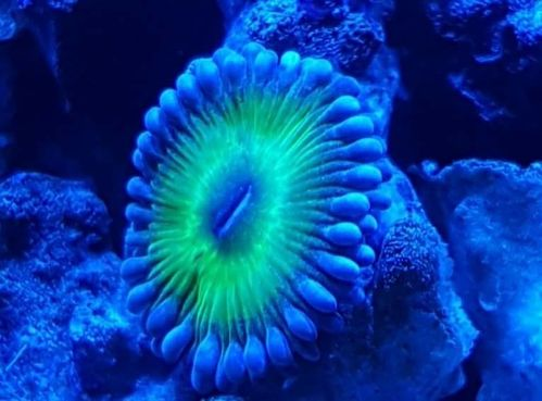 single avalon zoa on frag plug