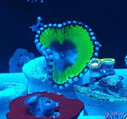 cycodelic paly grandis the must have zoa for any collection