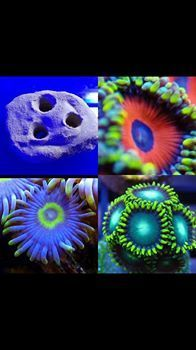 3 way frag plate holder comes with eagle eye,blow pop,radio active green zoas which fit the holder