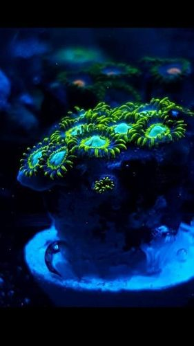 yellow hornet zoa single polyp
