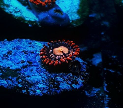 single red horizon zoa on frag plug