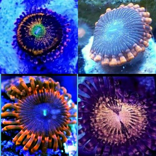 LIMITED OFFER alien anti venom,lunar eclipse,organism,fairy dust zoa pack