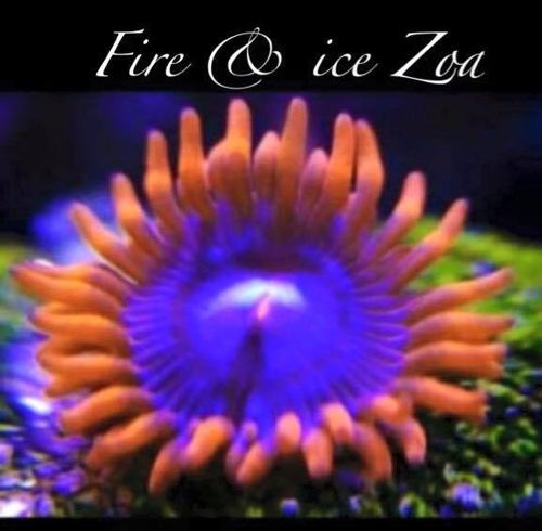 fire and ice zoa on frag plug