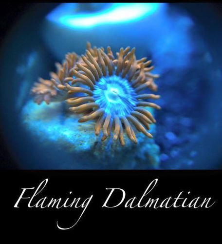 flaming dalamtion zoa on frag plug