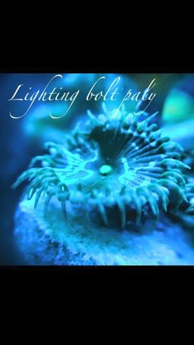 lighting bolt paly zoa on frag plug