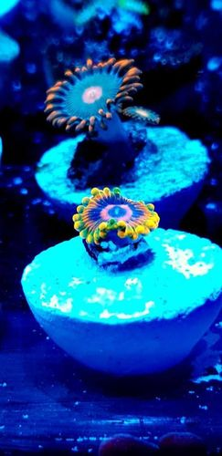 mind trick zoa one for every collection