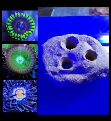 3 way frag plate holder comes with 3 zoa frags which fit the holder
