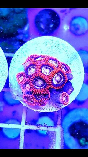 cluster of angry bird zoas