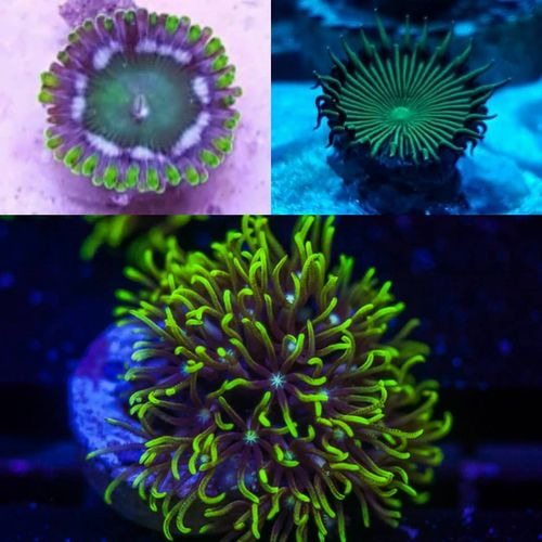 coral pack contains:gsp xenia,green implosion paly, snow drop zoa