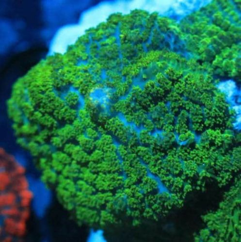single green Persian rug mushroom frag