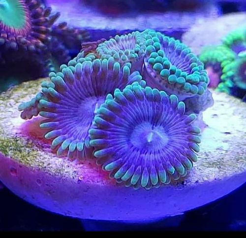 jb winter solider paly zoa single polyp