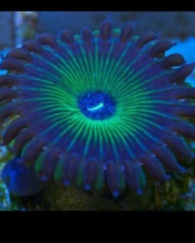 silver rimmed green people eater zoa