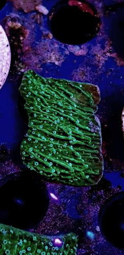 white polyped green montipora plate