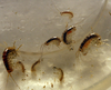 amphipods x12 start your own culture like copepods live food
