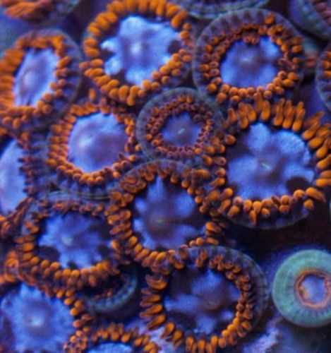 cluster of alpha and omega zoas