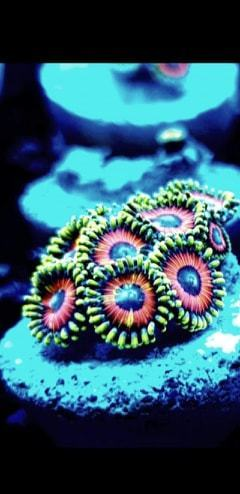 weekly offer poker chip zoa cluster