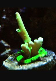 green deep water acropora sps frag
