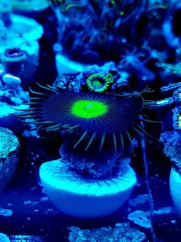 lime paly grandsis paly zoa frag