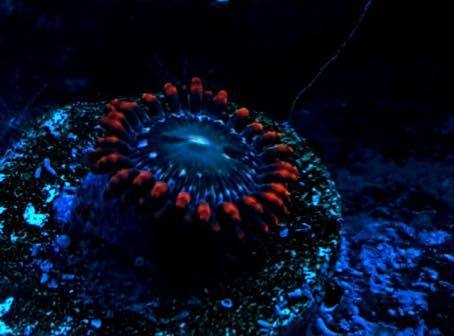 speckled fire ice zoa on plug
