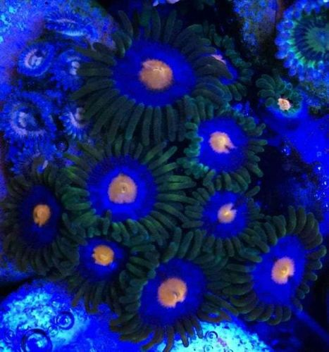 cluster of joeys empires zoas