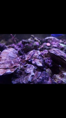 2-3 inch live marine oyster great filter feeders