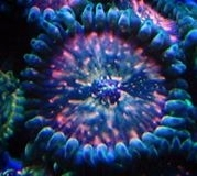 red devil people eater  zoa single head on frag plug