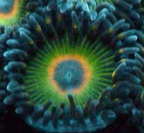 rasta cousin zoa on frag plug