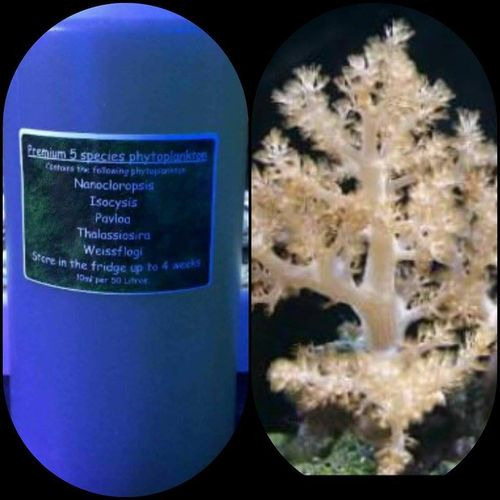kenya tree frag comes with 250ml phytoplankton
