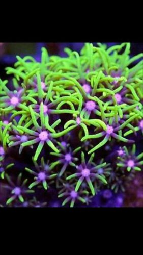 Metallic green star polyp  xenia coral frag on frag plug