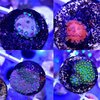 set of 4 montiporas,blue danea,mystic,green yellow super,purple danea