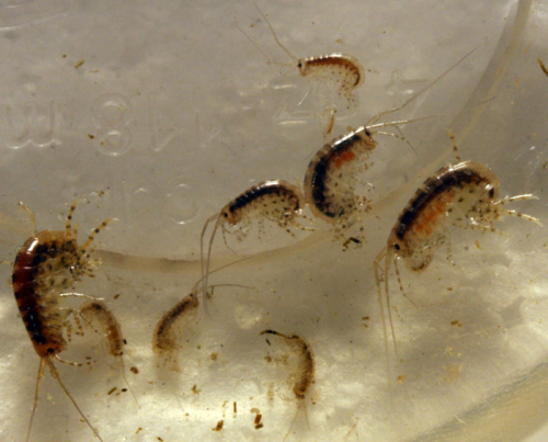 amphipods x 6 start your own culture like copepods