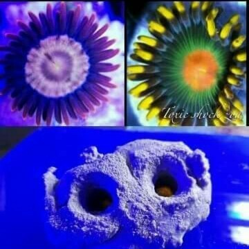 twin live rock holder with two zoa frags that fit the holder