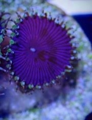 purple death paly zoa single head on frag plug