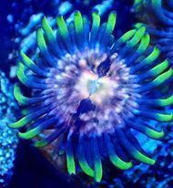 single laser lemon zoa on frag plug