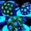 special offer 3 mixed randomly picked zoa cluster frags