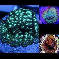 pavona pack of 3 green,green eyed and rusty pavonas