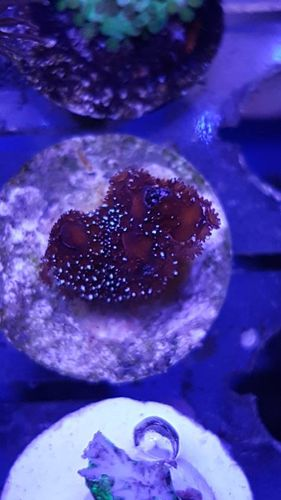 red with silver polyps montipora digita frag on plug