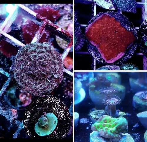 coral pack - rusty pavona, montipora confusa, orange plate special offer
