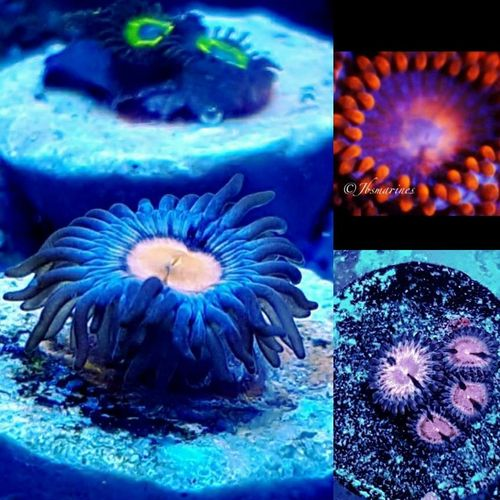 zoa pack of 3 contains :speckled hen, peach blossoms and tangelo zoas