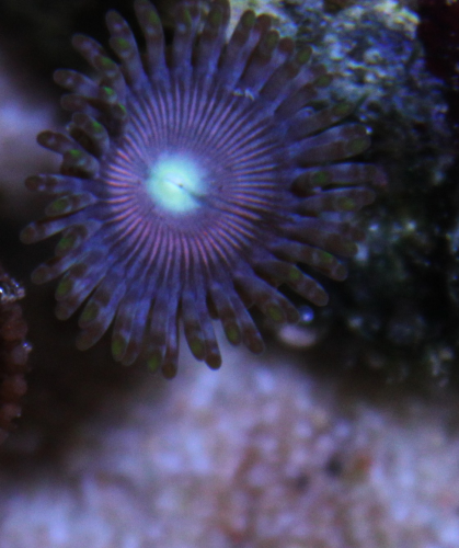 gobstoper single zoa on frag plug