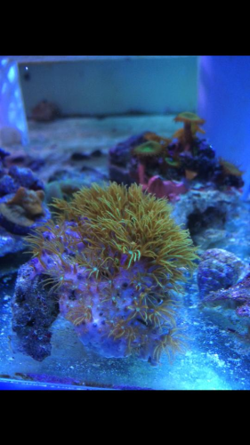 green star polyp on rock rubble 3-4 inch